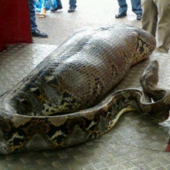 ular ditemuka di janur elok klp gdg
